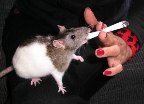 blog_rokende_rat