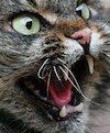 Woedende kat
